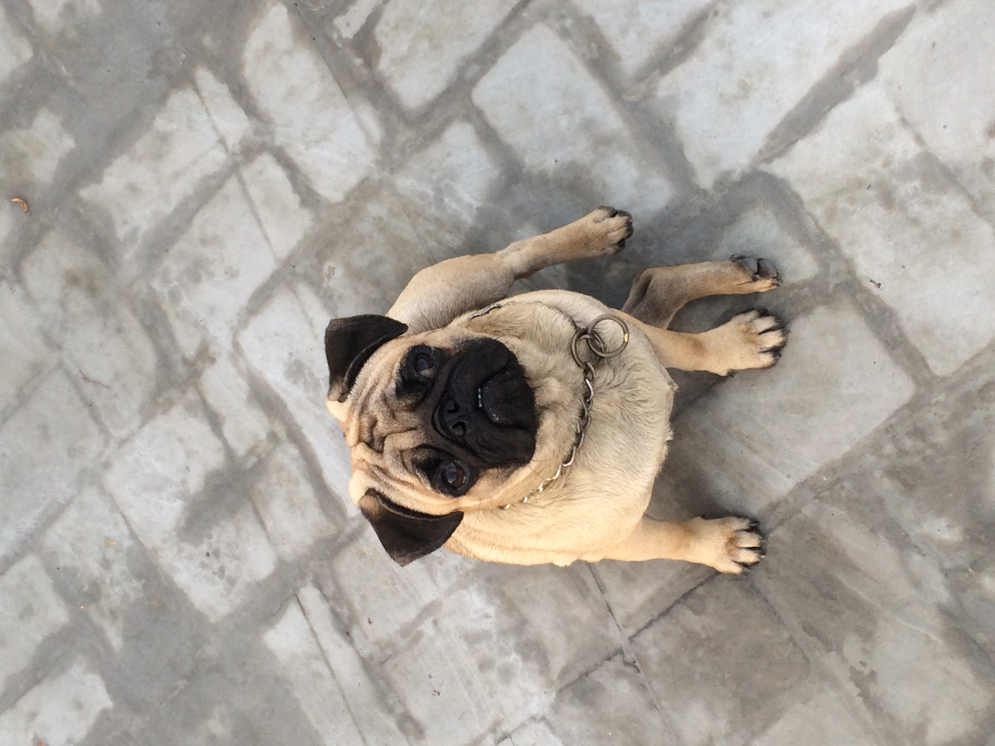Is 400 dollars to much for a male pug?